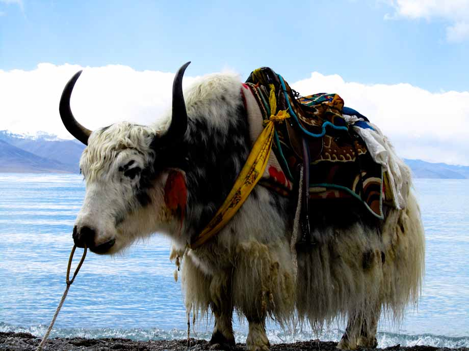 Yak at Namtso Lake