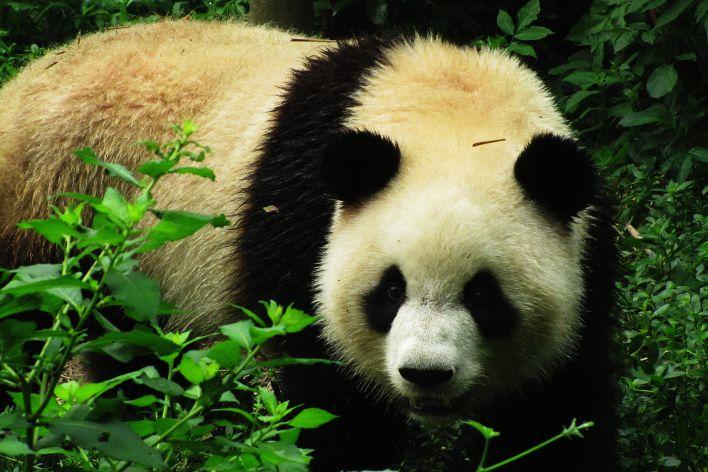 giant pandas in chengdu
