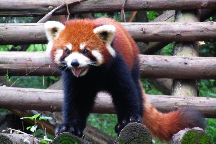 panda china