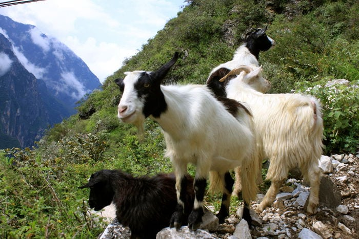 goats at tiger leaping gorge