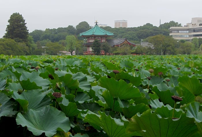 A glimpse of a lotus in Ueno Park