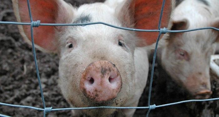 Eternal pig
