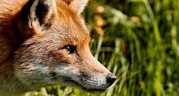 Fox spirits