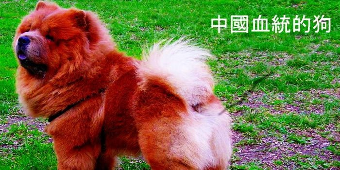 chinese breed dogs