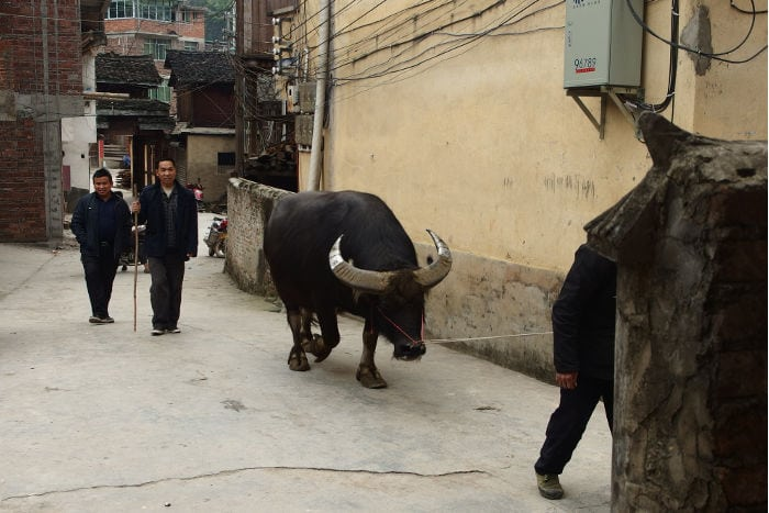Dong Village Yak