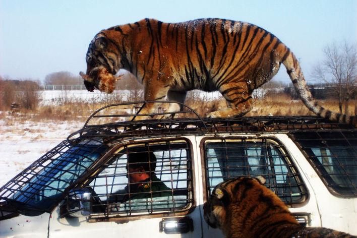 Parque Tigre Siberiano Harbin