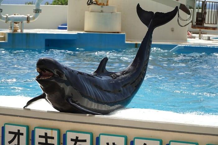 Espectáculo de delfines... ¡y no solo en Churaumi!