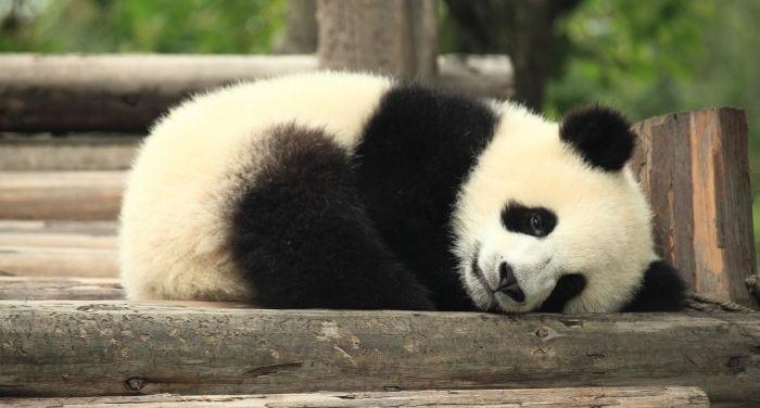 China y los pandas