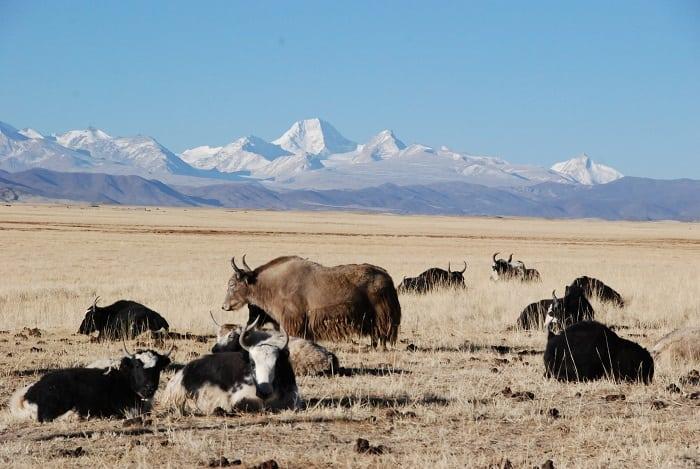 Yaks en el monte Kailash