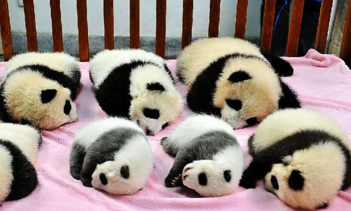 cuccioli di panda