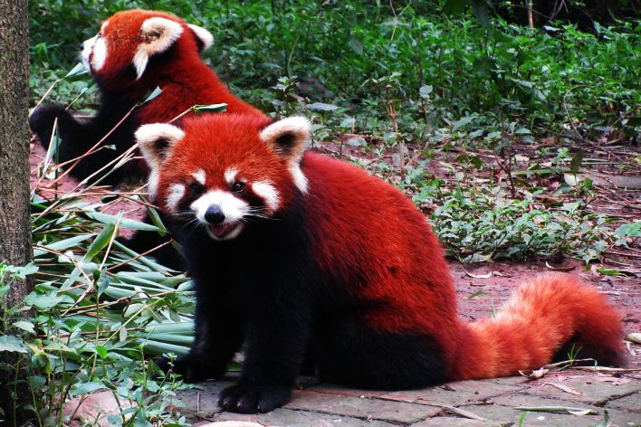 panda chengdu