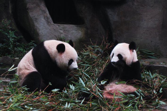 panda giganti riserva