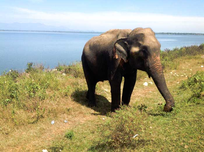 SIGIRYA elefante