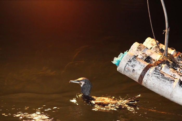 pesca cormorano