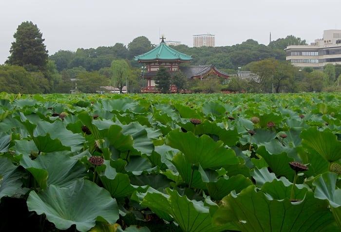 Uno scorcio sul loto a Parco Ueno