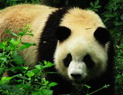 Riserva dei Panda